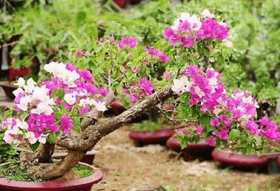 Mempercantik Tampilan Bonsai Bugenvil