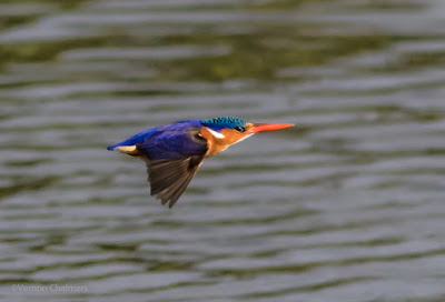 Malachite Kingfisher- Table Bay Nature Reserve Woodbridge Island, Cape Town