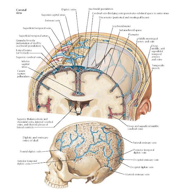 Meninges and Diploic Veins Anatomy