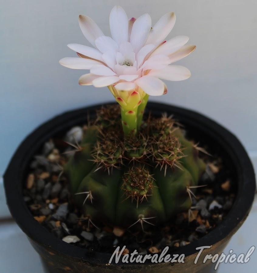 Características morfológicas del cactus ornamental Gymnocalycium anisitsii