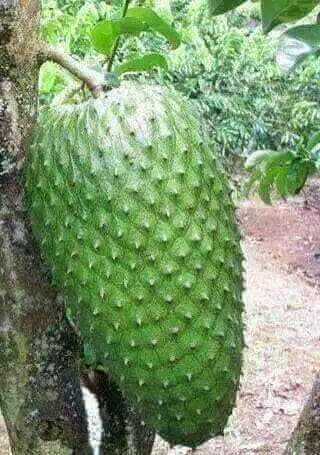 Talat's Blog: Guyabano Fruit (acknowledged as a miracle cure of Cancer)