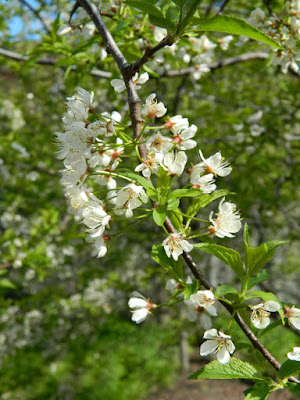 Prunus americana American Plum spring flowers in a Riverdale ecological garden by garden muses-not another Toronto gardening blog