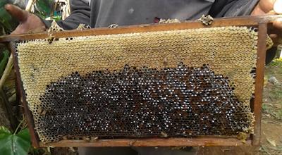 hasil panen madu hutan