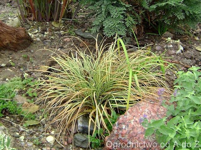 Carex ornithopoda