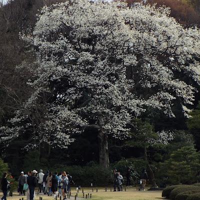 六義園のコブシの樹