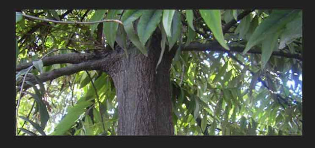 Pohon Eboni / Kayu Hitam (Diospyros celebica)