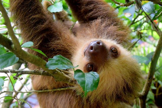 Image: Costa Rica Sloth, by Minke Wink on Pixabay