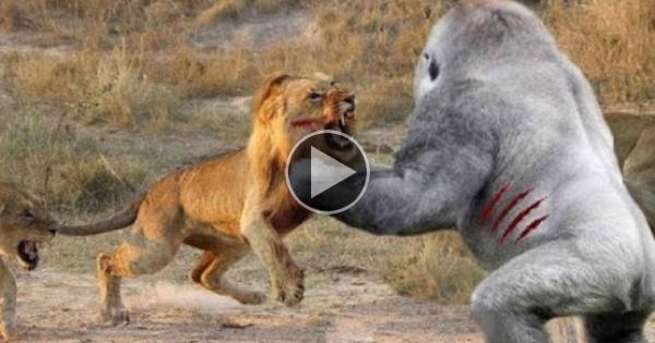 Lion Vs Gorilla Wild Fight