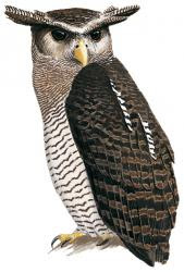 Barred Eagle owl