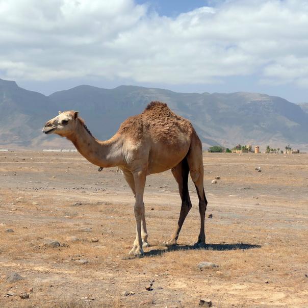 Dromedar, Kamel, Salalah, Salala, Wüste, Oman
