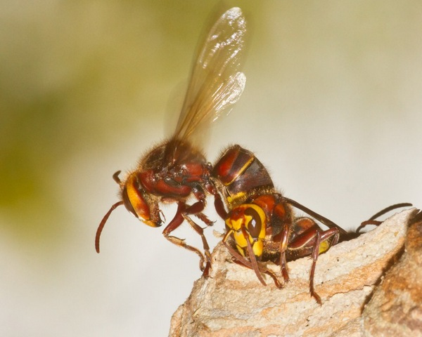 European hornet emerging from its nest - Photo copyright Devon Wildlife Trust (All Rights Reserved)