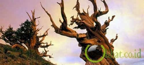 Pohon Methuselah