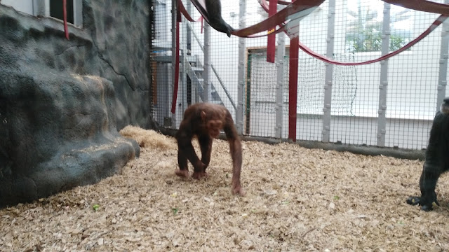 A chimp in its enclosure with saw dust on the ground and red ropes hanging above it