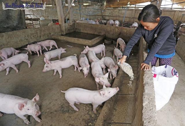 Thị trường Campuchia giải cứu thịt heo Việt nam và tiêu thụ cực mạnh
