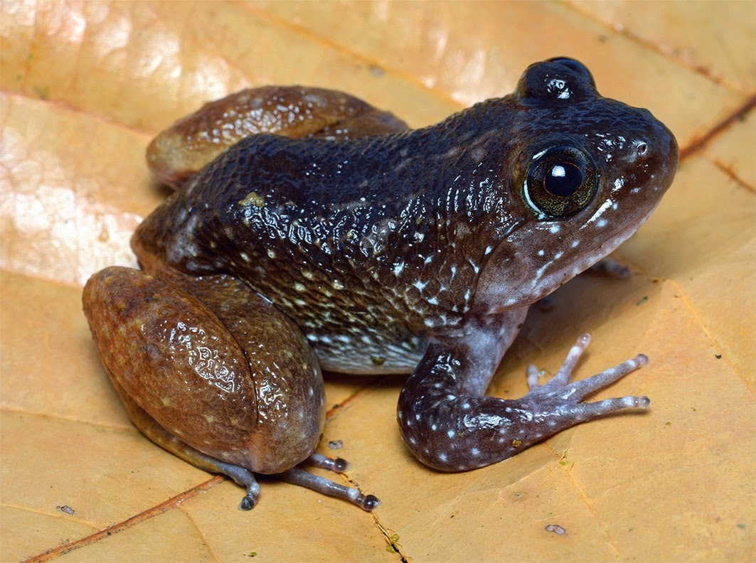 http://sciencythoughts.blogspot.co.uk/2014/11/a-new-species-of-fanged-frog-from.html