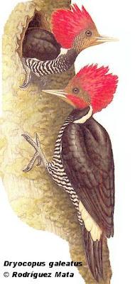 Carpintero cara canela Dryocopus galeatus