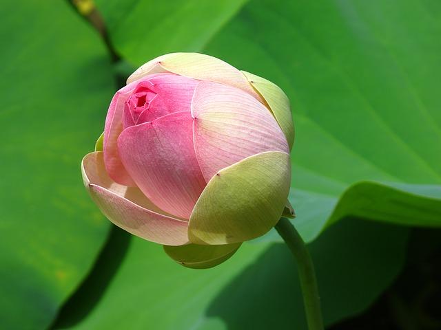 hoa sen hồng đẹp nhất 1