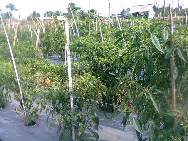 Tanaman Cabe Hasil Semai Steril Pro dan Diberi Tiang Ajir Dari Bambu