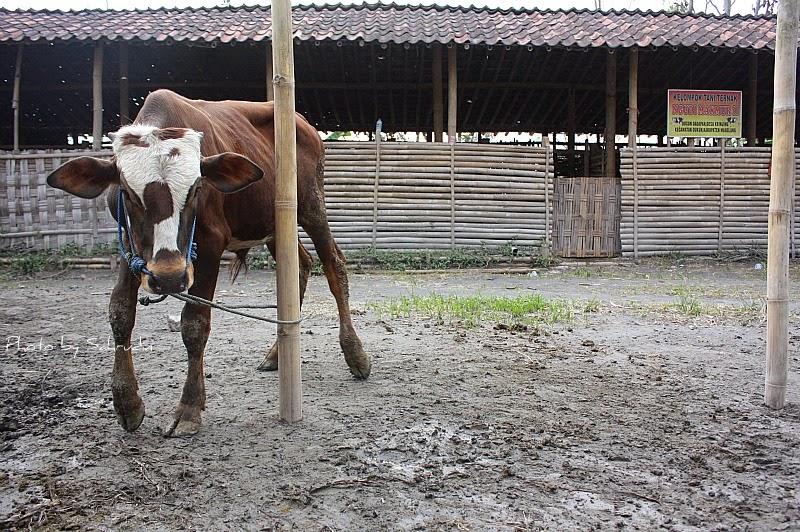 cacingan pada sapi dan obatnya | usahaternak