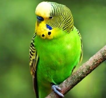 Download Suara Burung Parkit Juara Untuk Masteran Mp3