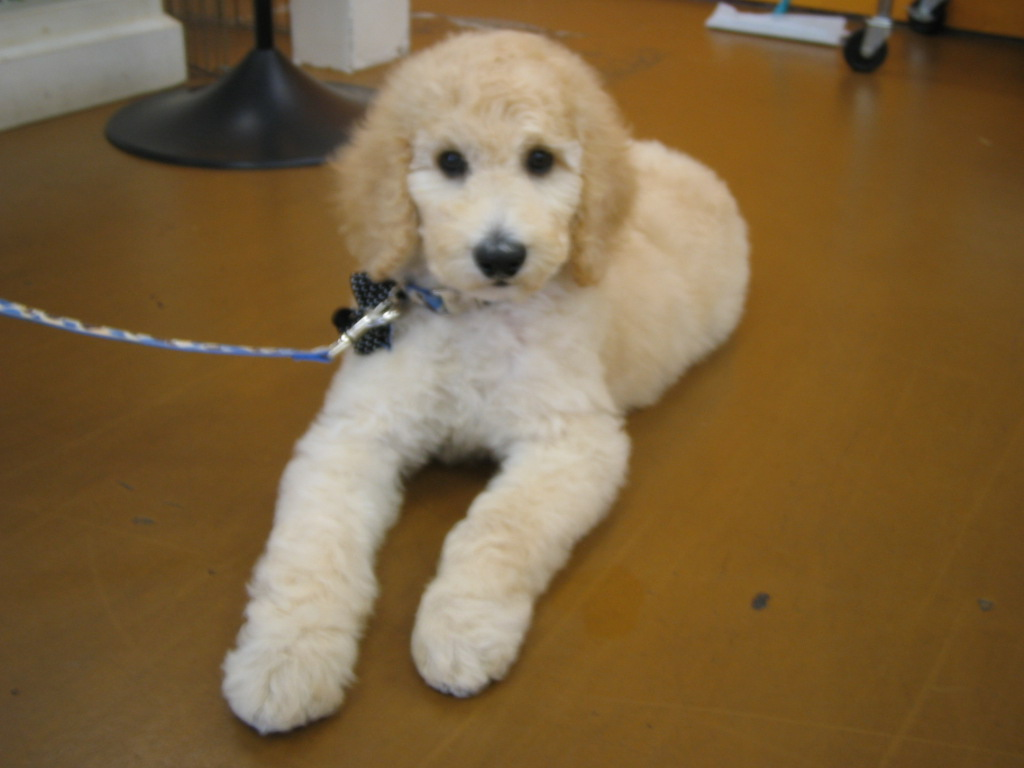 Venicepets Today S Customer ★tristan Standard Poodle Puppy★
