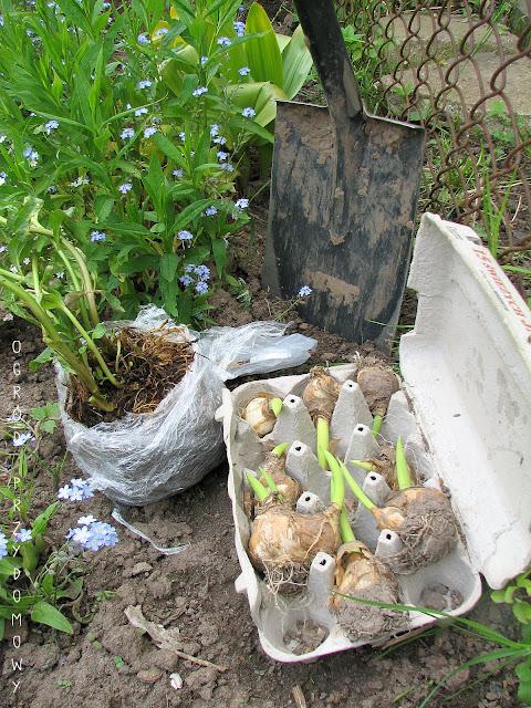 darmowe sadzonki, ogród przydomowy, rośliny za darmo, ogród za grosze, sadzonki za darmo, darmowe sadzonki