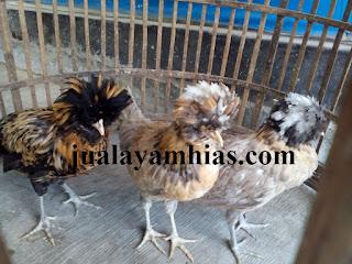 Ayam Poland Usia 3 Bulan