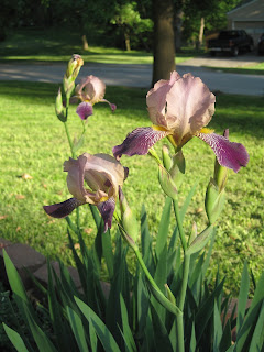 Dividing Perennials Like Iris