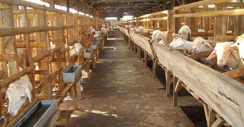 10 Negara Penghasil Susu Kambing Etawa Terbaik Dan