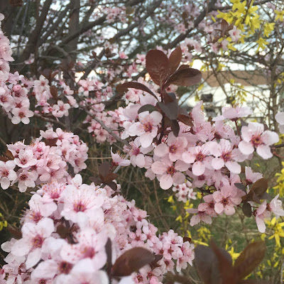 Plum Blossoms at Steins at Sunset Florist