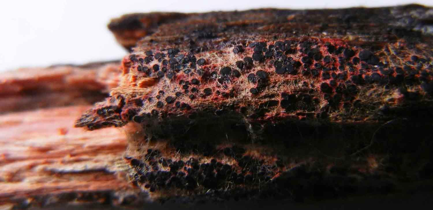 Patinellaria sanguinea produces tiny black discs and stains wood coral red