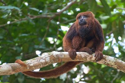 Secretaria Municipal de Saúde de Juquiá confirma morte de Macaco por Febre Amarela