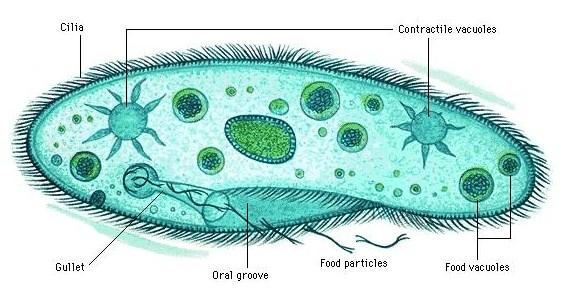 Pengertian Protozoa dan Klasifikasinya