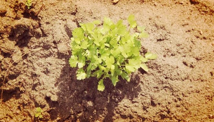 Sembrar cilantro con raiz