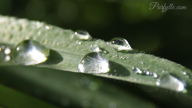 hairy grass leaf with rain drops