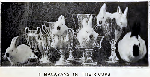 Himalayans in their cups.