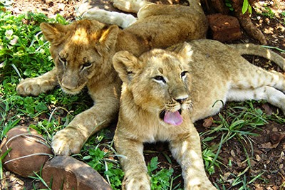 Lion cubs in the Zambia lion conservation project
