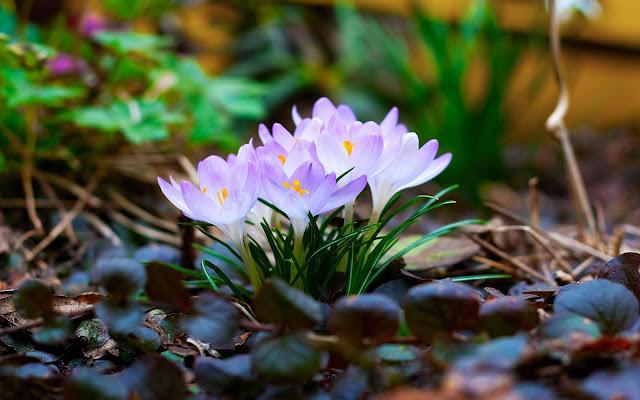 Foto met krokussen in bloei