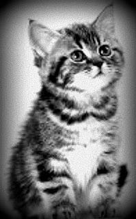 Gris es un gatito muy tranquilo y hogareño.