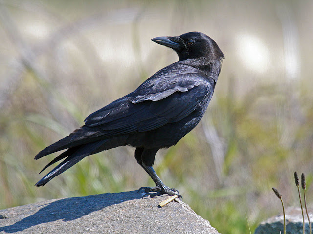 San Diego, California Backyard bird: American Crow
