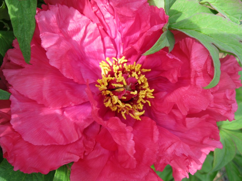 By Sunday The Huge Flower Was Fully Opened Showing Its Yellow Center This Is A That Can Be Seen From Distance