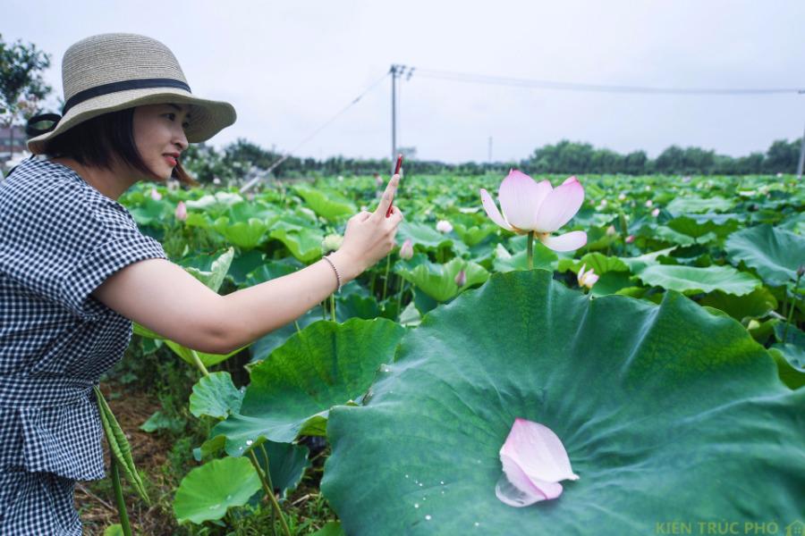 Hoa sen ở Hồ Châu, Chiết giang