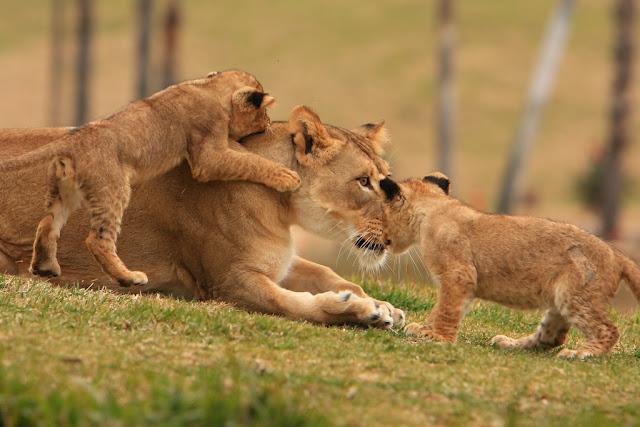 Gambar sebagai media yang mengilustrasikan seekor singa dengan dua anaknya