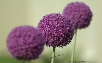 http://fotobabij.blogspot.com/2016/02/allium-hybridum-czosnek-ozdobny-kwiaty.html