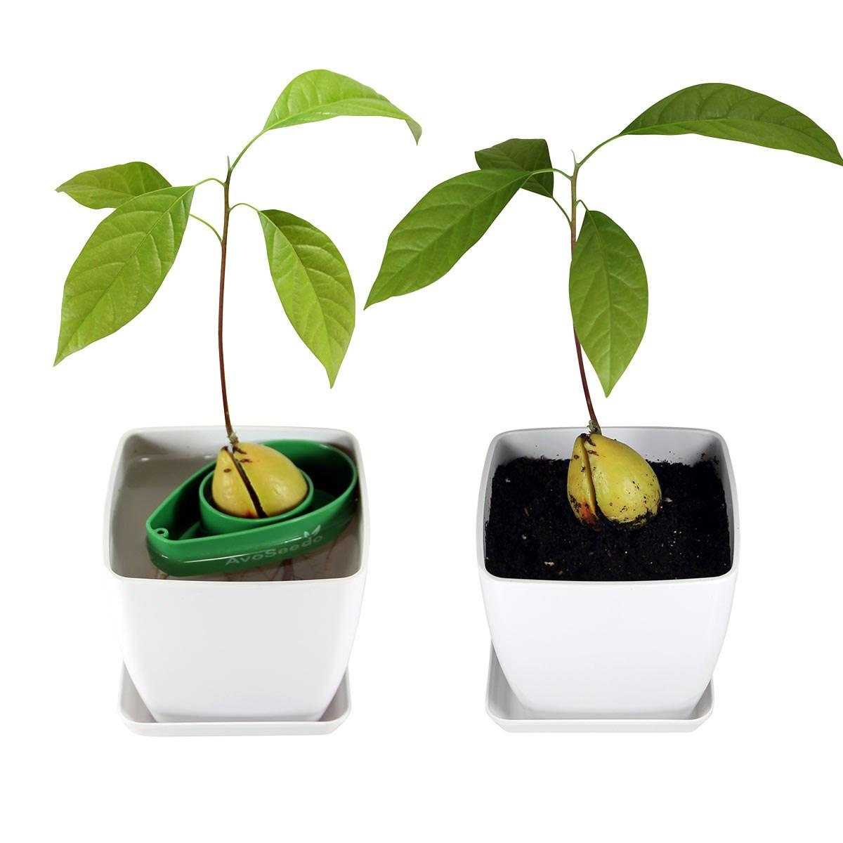 How To Make An Avocado Tree Bear Fruit