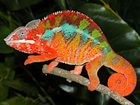 Chameleon Animal Pictures