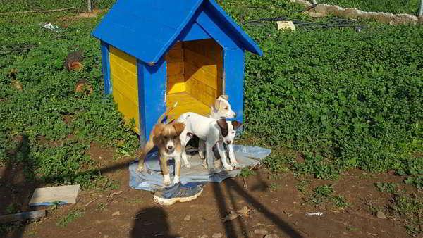 cachorros cruce ratonero con whippet