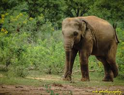 This is an image of Indian elephant