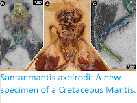 http://sciencythoughts.blogspot.co.uk/2017/10/santanmantis-axelrodi-new-specimen-of.html