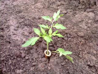 plante de tomate protejate de urechelniti cu tub de cucuta